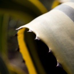 Kaktus Detailaufnahme