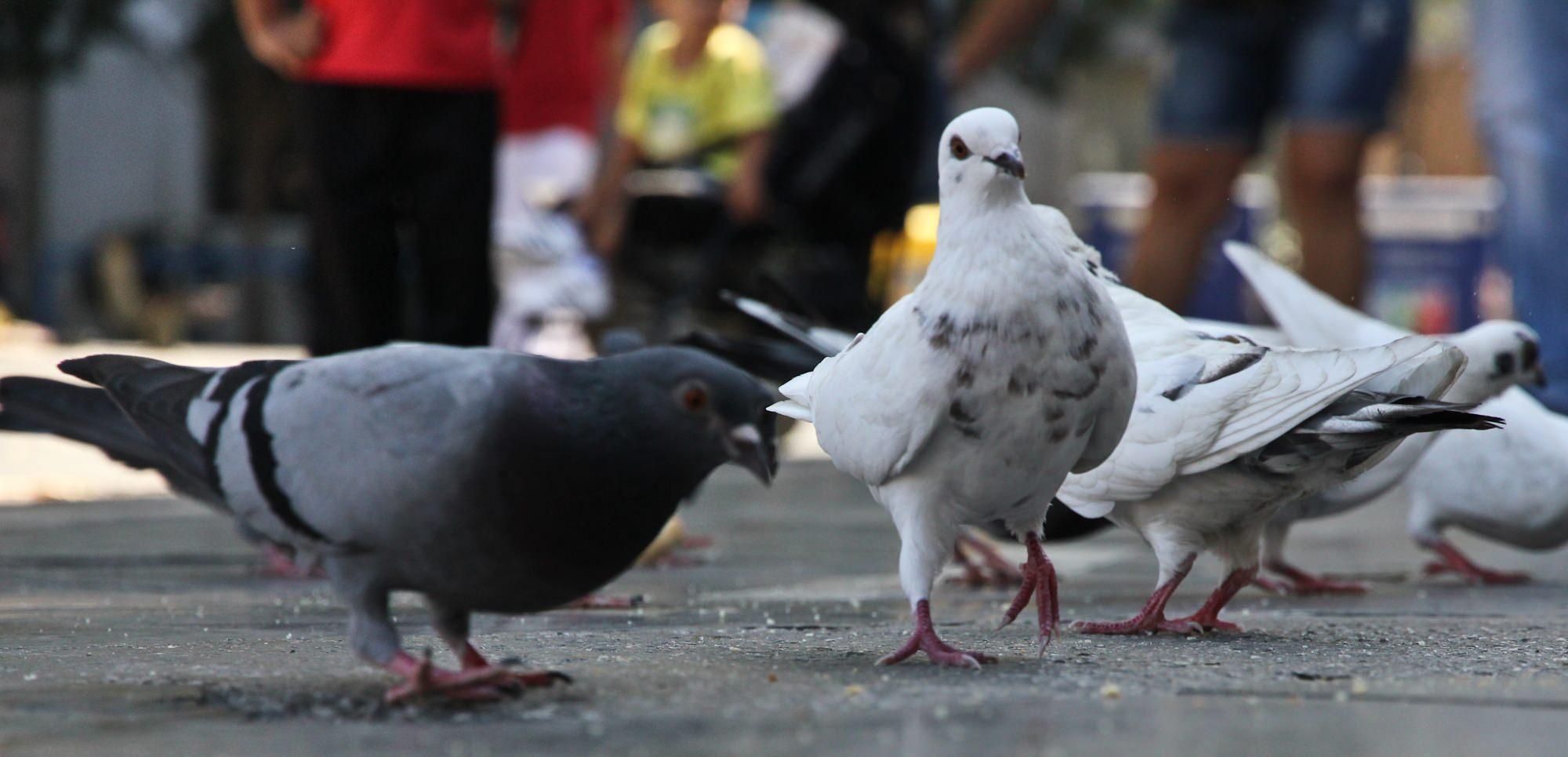 Tauben in Palma