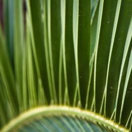 Detail eines Palmenblatts